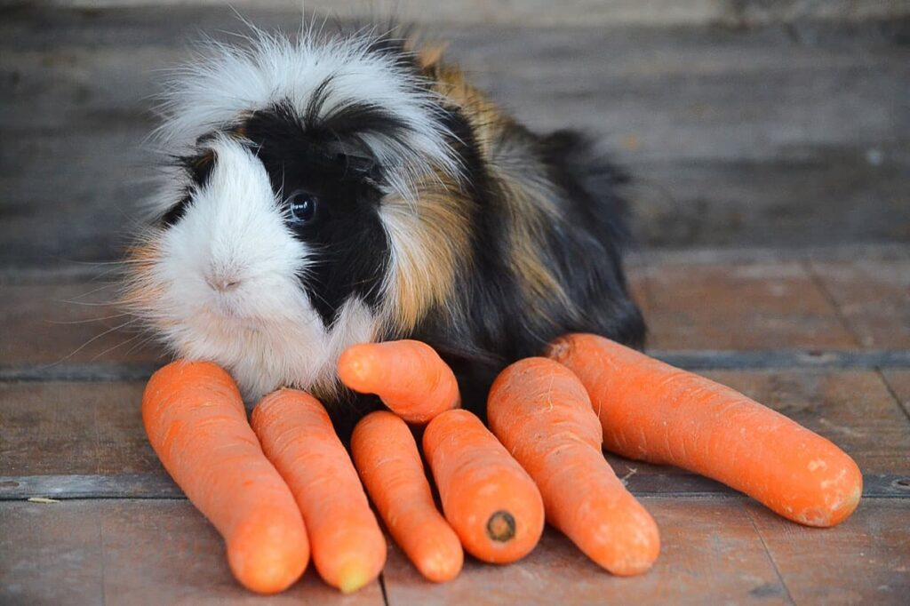 Guinea pig and food - carrots